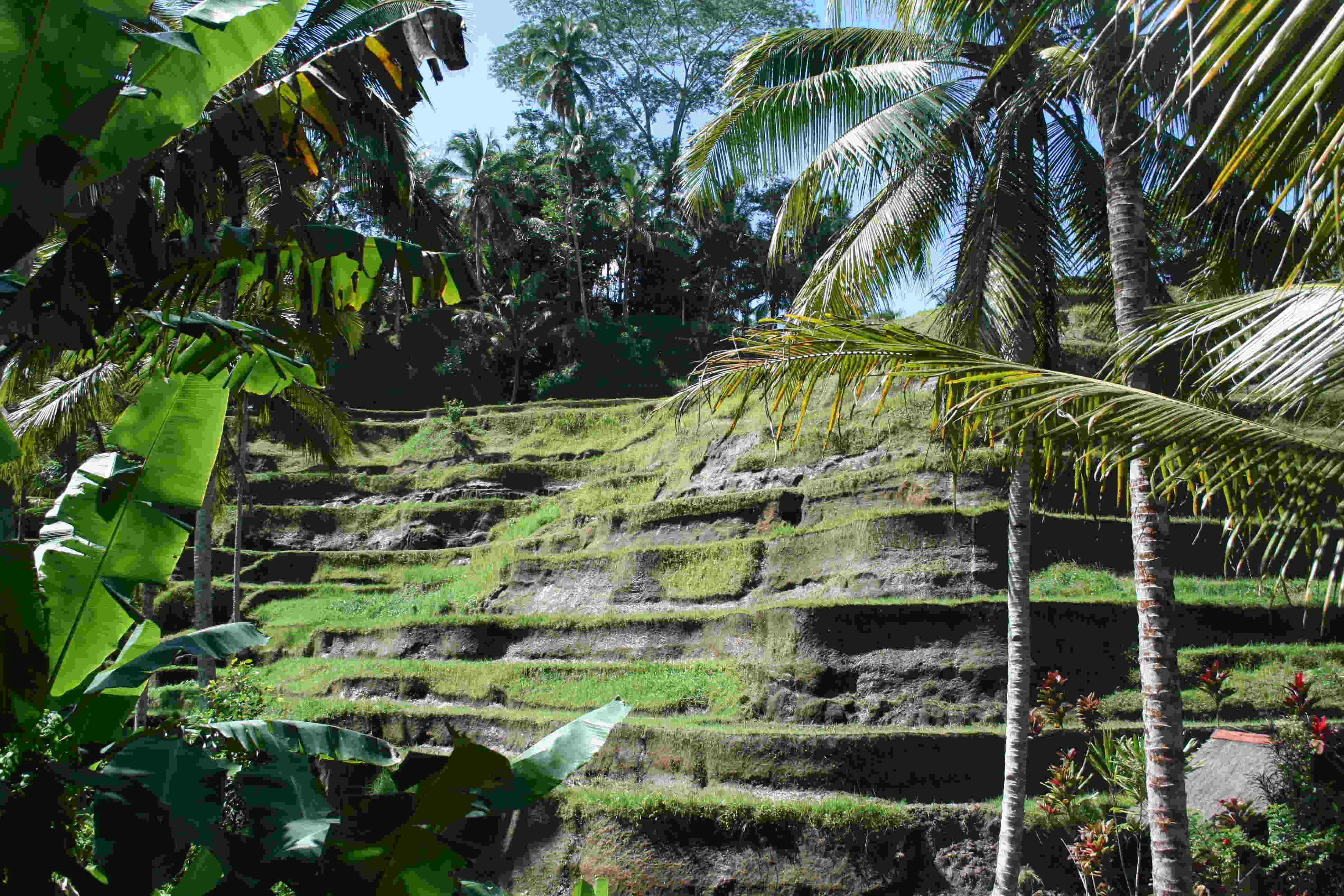 Les rizières à Ubud